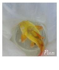 黃化紅尾鴨嘴
