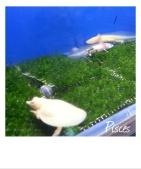 紅眼白子鱉